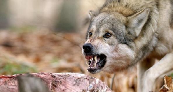 خطورة الذئب