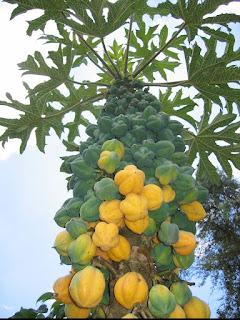 Pohon pepaya carica dieng