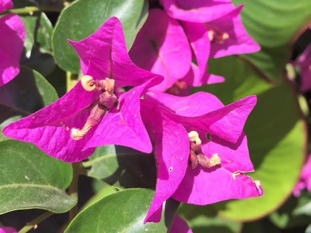 Violett blühende Pflanze