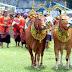 Sapi Jadi Pengantin dan Dirias, Tradisi Unik Iduladha di Pasuruan