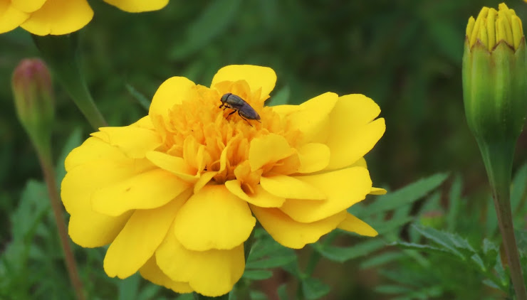 マリーゴールドと蜜を吸う虫