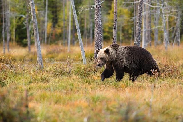 Medvét láttak a Nógrád megyei Szenténél