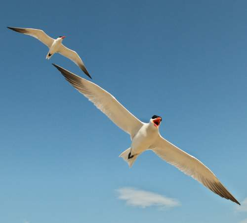 Indian birds - Image of Caspian tern - Hydroprogne caspia