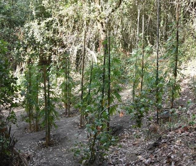 Εντοπίστηκε φυτεία δενδρυλλίων κάνναβης στη Τριφυλία
