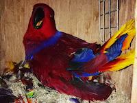 Ternak Burung Nuri Bayan
