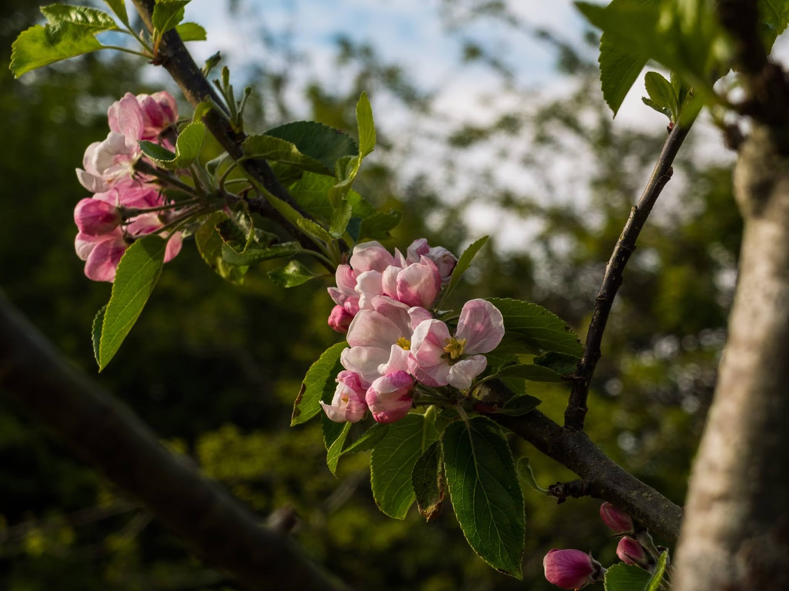 Pink apple tree flowers on a branch.