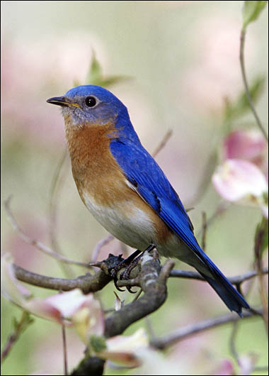 Blue bird - photo#43