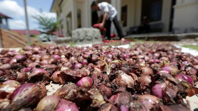 Petani Solok Frustrasi Sudah Seminggu Harga Bawang Merah Masih Anjlok