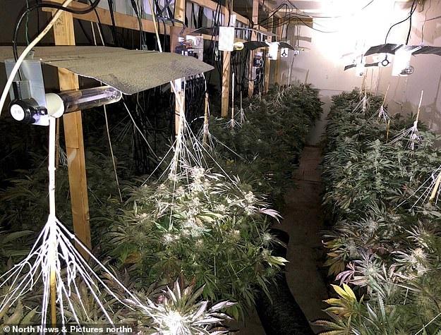 3 albanesi in Inghilterra coltivano cannabis tanto quanto un campo di calcio, vengono arrestati