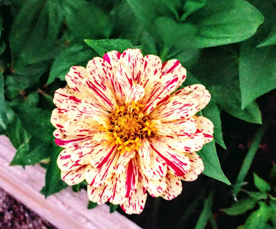 zinnia striped dotted dashed