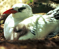 Red-tailed Tropicbird on nest with chick – Dec. 31, 1980 – photo by Gerald Ludwig, USFWS