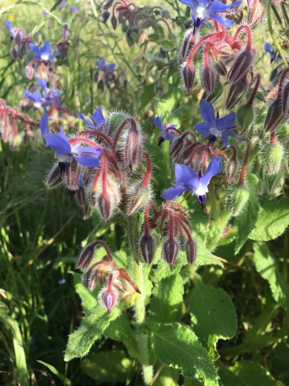 Flores Silvestres - Borragem - Borage (Borago officinalis)