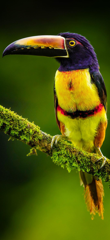 خلفية طائر طوقان اسود الرأس أصفر العينين