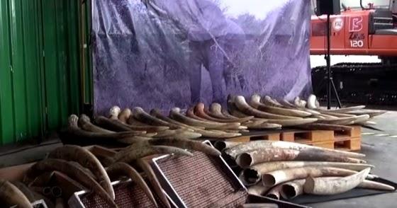 销毁象牙_新加坡销毁7.9吨走私象牙及象牙制品 - 南洋视界