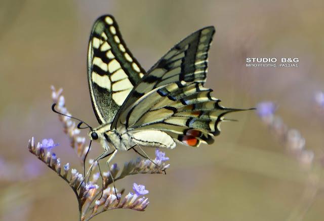 Η φωτογραφία της ημέρας: Η πεταλούδα Μαχάων (Papilio machaon)