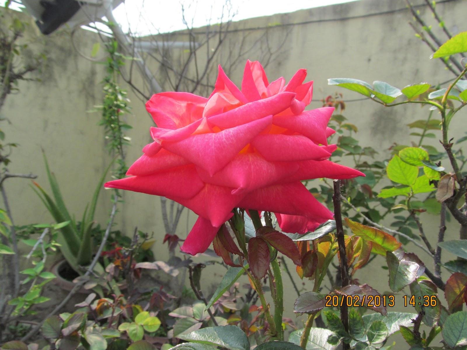 natureklik: lovely, lovely roses