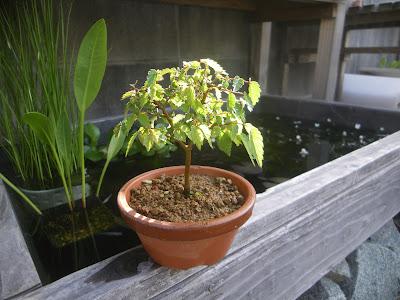 ケヤキ ミニ盆栽