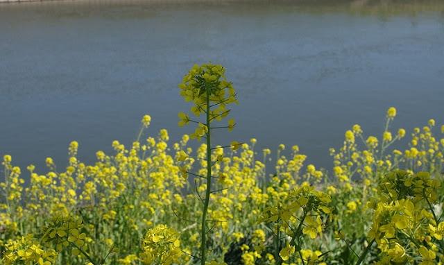 日陰の伸びる菜の花