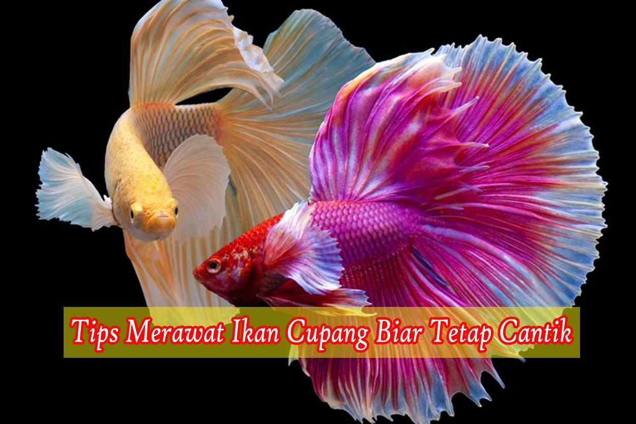 Tips Mudah Merawat Ikan Cupang