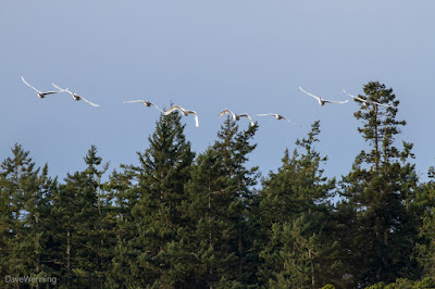 Trumpeter Swans over Cranberry Lake