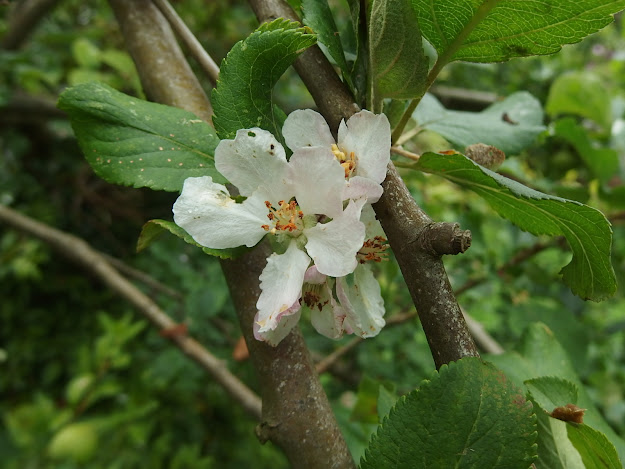 Apple blossom alongside swiftly maturing apples