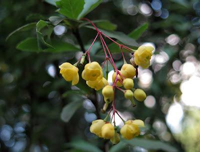 Agracejo (Berberis vulgaris)