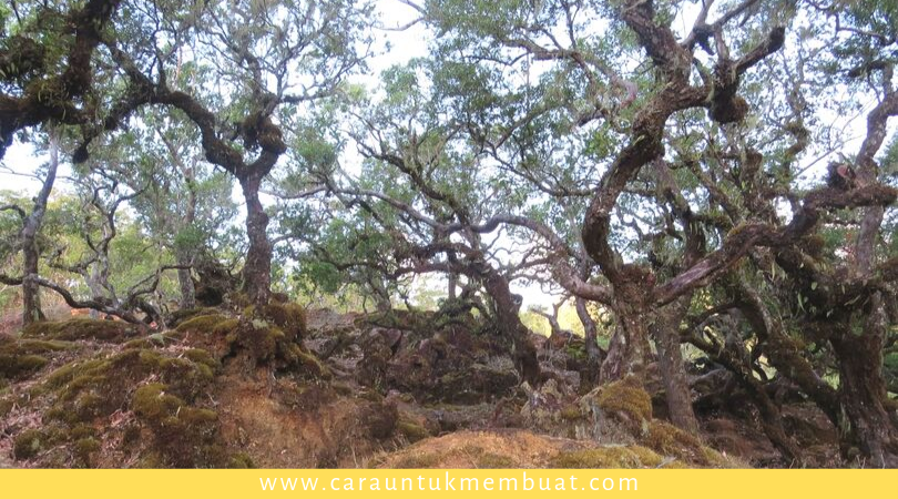 Hutan Bonsai Gunung Mutis 4