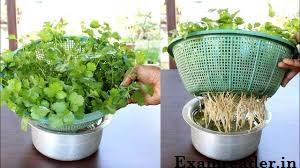 How to grow coriander without soil