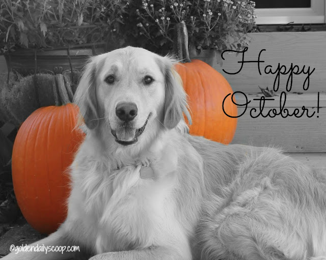 golden retriever with pumpkins for October #blackandwhite Sunday
