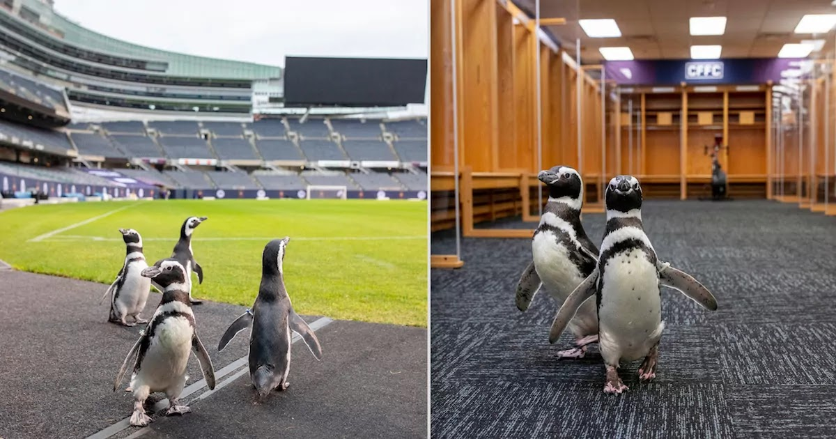 Closed Aquarium Sends Its Penguins On A Field Trip To The Chicago Bears Stadium
