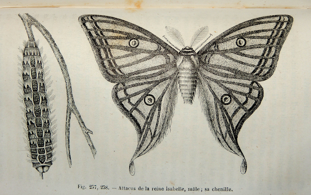 Graellsia isabelae