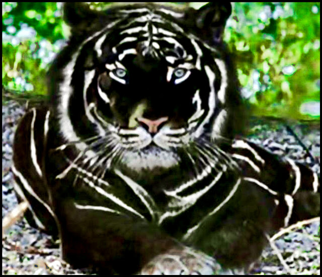 A black tiger is a rare colour variant of the tiger and is not a distinct species or geographic subspecies.