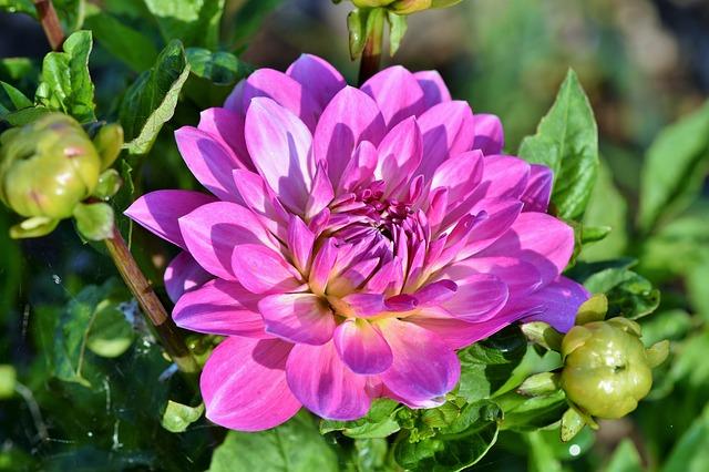 Gambar bunga dahlia yang cantik