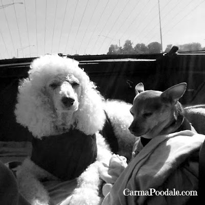 Poodle and Chihuahua in car