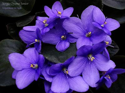 Violeta africana - Saintpaulia ionantha