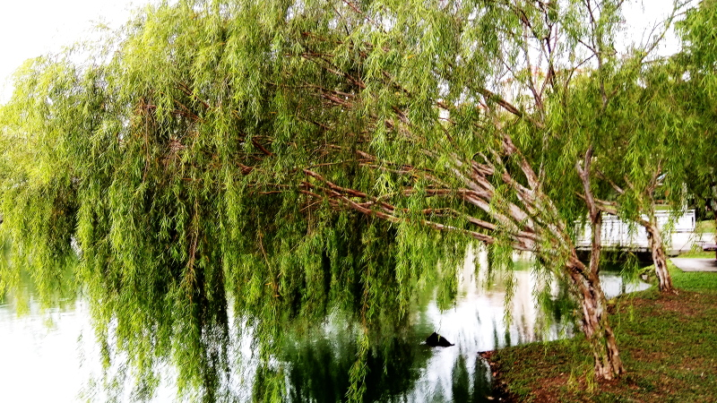 Mobile Photography: Weeping Willows 02