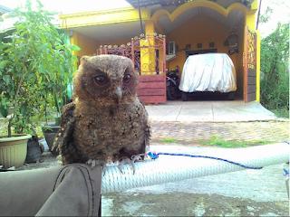 Burung Hantu Celepuk / Javanscoop owl