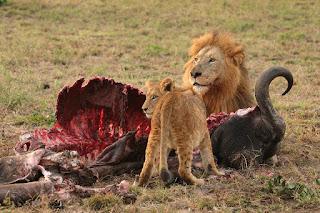Deux lions en train de manger un buffle