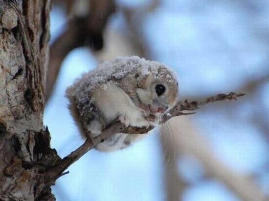 ardilla voladora enana japonesa