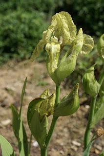 Iris imbriqué - Iris imbricata