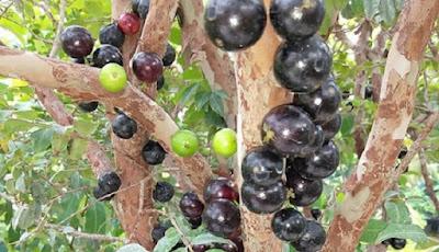 Pohon dan buah anggur Brazil