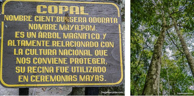 Copal, árvore sagrada para o povo maia