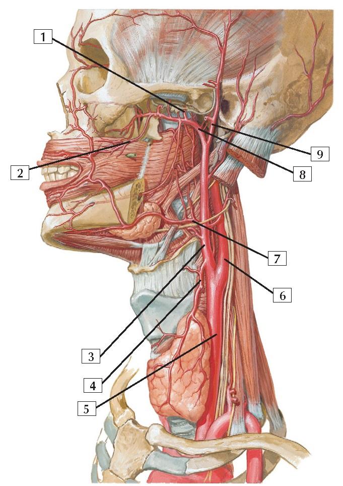 Arteries of Oral and Pharyngeal Regions Anatomy
