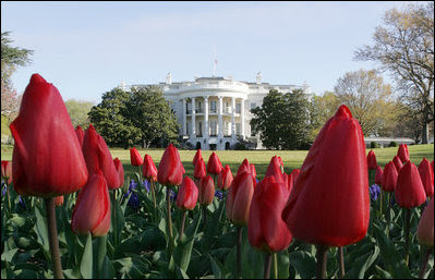 Red tulips in the foreground, with the White House in the background