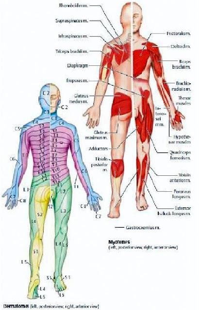 area dermatome tubuh manusia