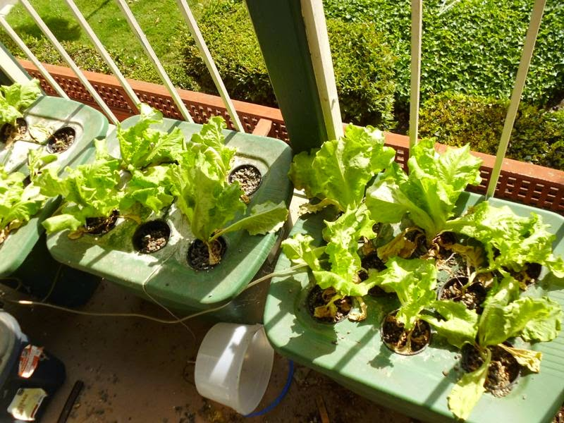 DWC overview lettuce