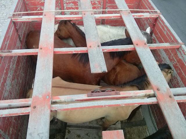 Prefeitura de Delmiro Gouveia realiza operação de apreensão de animais soltos pelas ruas e terrenos