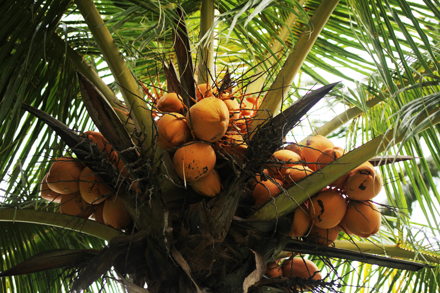kokosnusswasser bali coconut
