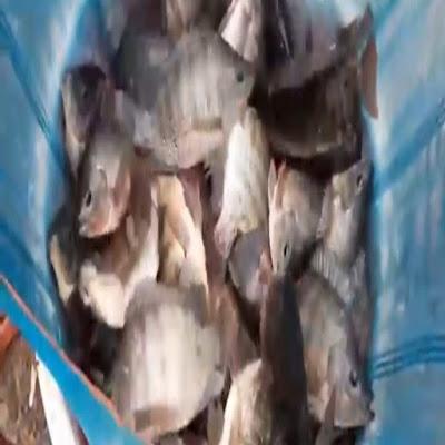 Budidaya ikan nila merah atau yang biasa, bisa dilakukan dengan mudah, bila kalian hanya memeliharanya saja, karena cukup membuat kolam baik dari terpal atau kolam langsung ke tanah. Kalian sudah siap untuk memelihara ikan nila sampai siap panen, tapi kalian harus bisa memperhitungkan antara pakan dan bobot ikan nila setelah di jual nanti, karena untung dan ruginya bisa di lihat dari hasil penjualan akhir ikan nila yang kalian pelihara.
