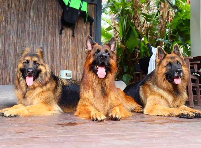 Interesting Facts About the German Shepherd
